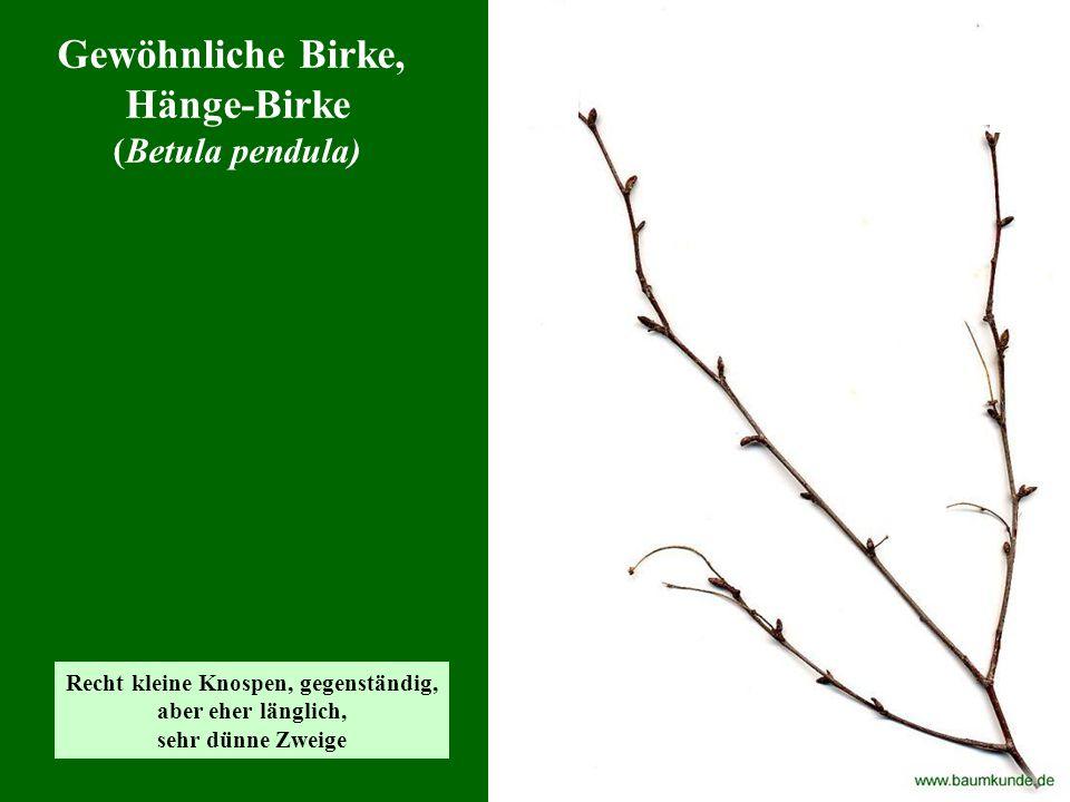 Gewöhnliche Birke, Hänge-Birke (Betula pendula) Recht kleine Knospen, gegenständig, aber eher länglich, sehr dünne Zweige
