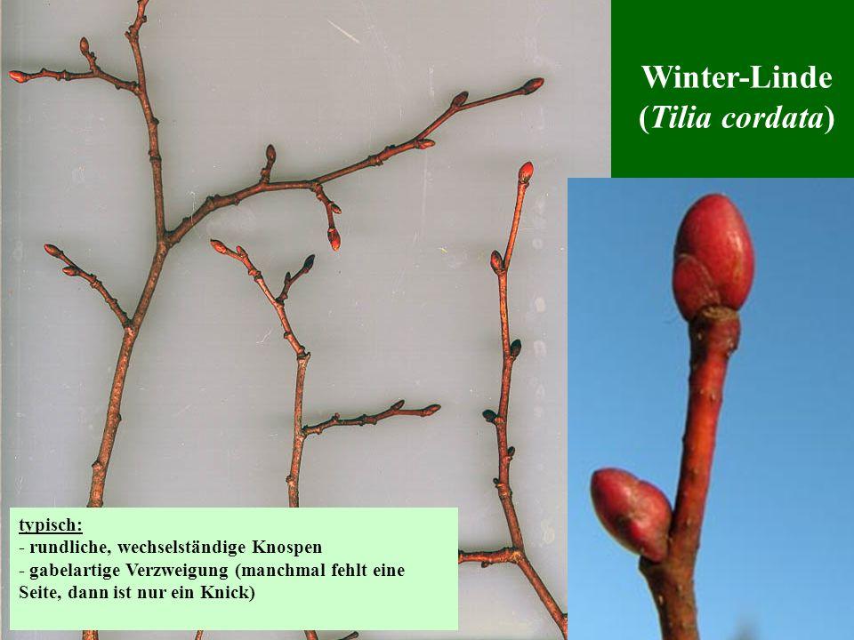 Winter-Linde (Tilia cordata) typisch: - rundliche, wechselständige Knospen - gabelartige Verzweigung (manchmal fehlt eine Seite, dann ist nur ein Knic