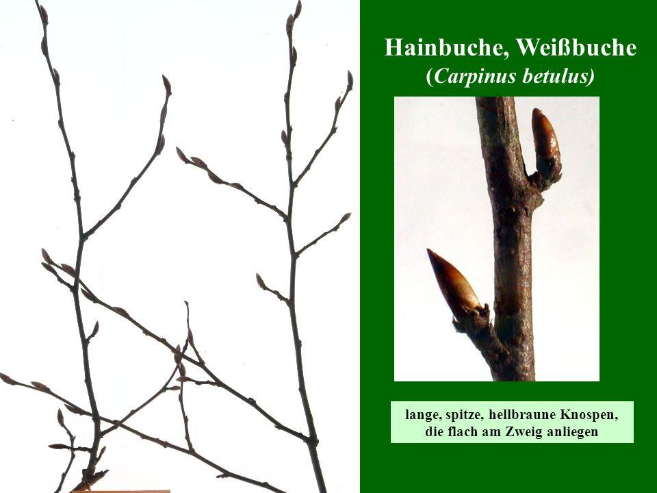 Hainbuche, Weißbuche (Carpinus betulus) lange, spitze, hellbraune Knospen, die flach am Zweig anliegen