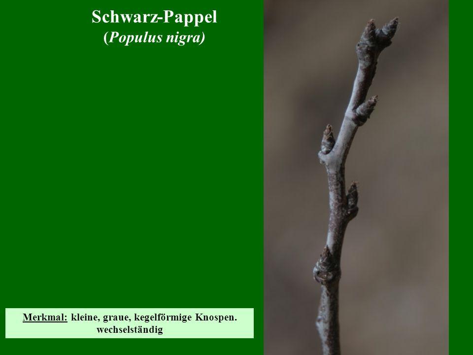 Schwarz-Pappel (Populus nigra) Merkmal: kleine, graue, kegelförmige Knospen. wechselständig