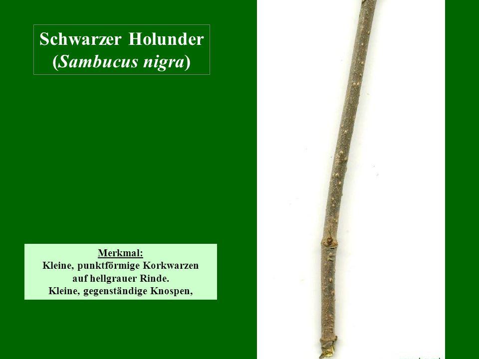 Schwarzer Holunder (Sambucus nigra) Merkmal: Kleine, punktförmige Korkwarzen auf hellgrauer Rinde. Kleine, gegenständige Knospen,