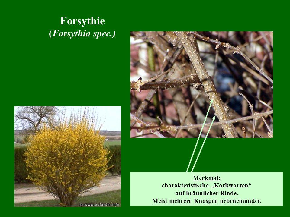 Forsythie (Forsythia spec.) Merkmal: charakteristische Korkwarzen auf bräunlicher Rinde. Meist mehrere Knospen nebeneinander.