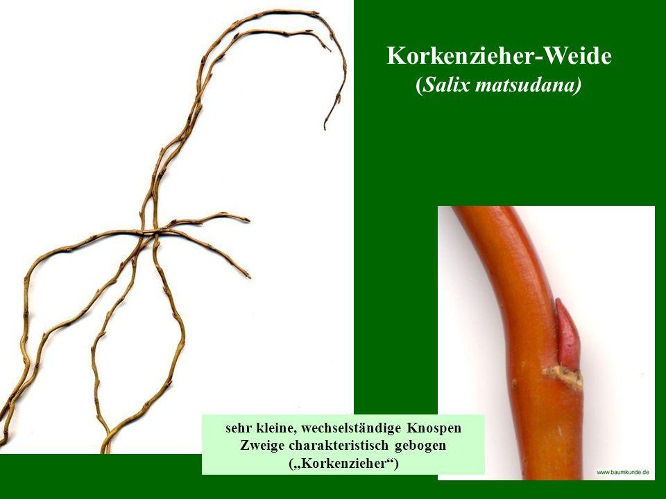 Korkenzieher-Weide (Salix matsudana) sehr kleine, wechselständige Knospen Zweige charakteristisch gebogen (Korkenzieher)