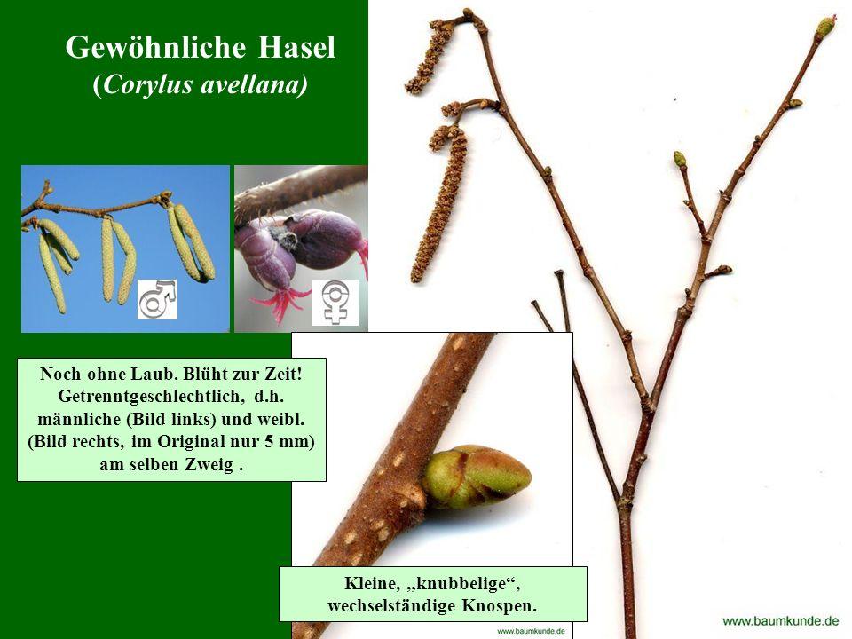 Gewöhnliche Hasel (Corylus avellana) Noch ohne Laub. Blüht zur Zeit! Getrenntgeschlechtlich, d.h. männliche (Bild links) und weibl. (Bild rechts, im O