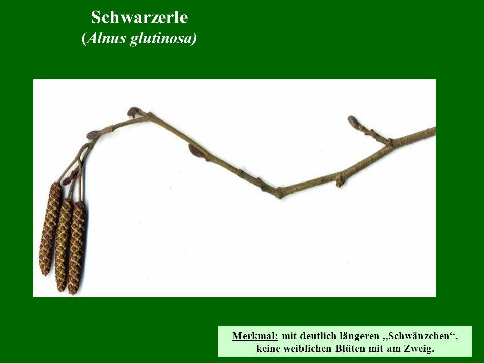 Schwarzerle (Alnus glutinosa) Merkmal: mit deutlich längeren Schwänzchen, keine weiblichen Blüten mit am Zweig.