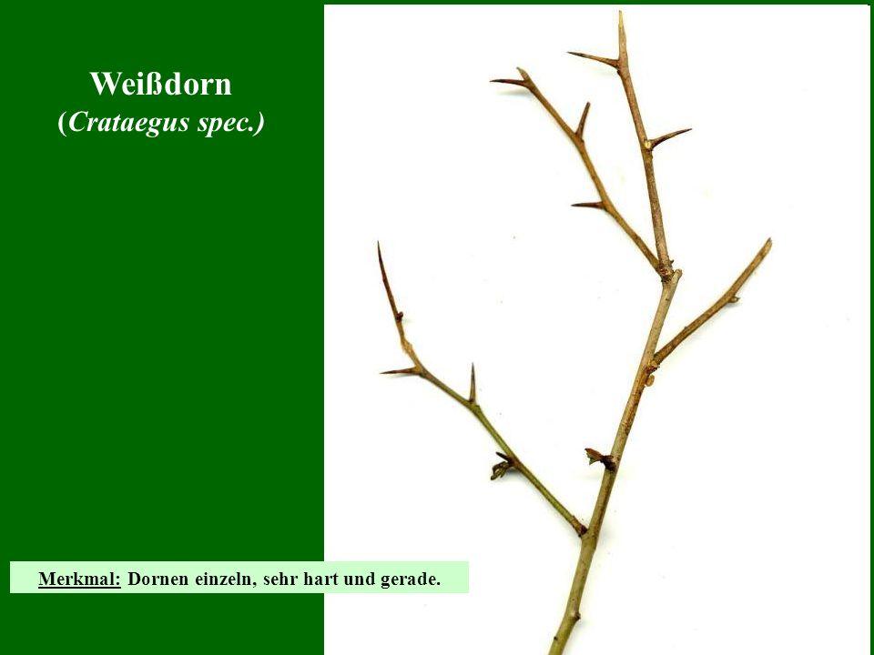 Weißdorn (Crataegus spec.) Merkmal: Dornen einzeln, sehr hart und gerade.