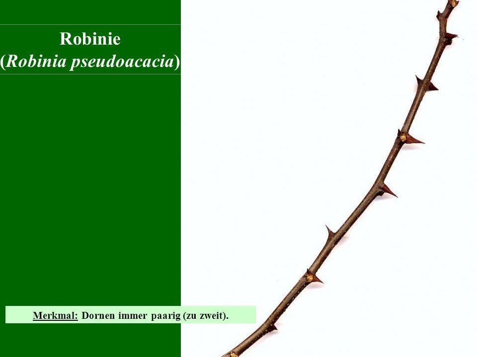 Robinie (Robinia pseudoacacia) Merkmal: Dornen immer paarig (zu zweit).