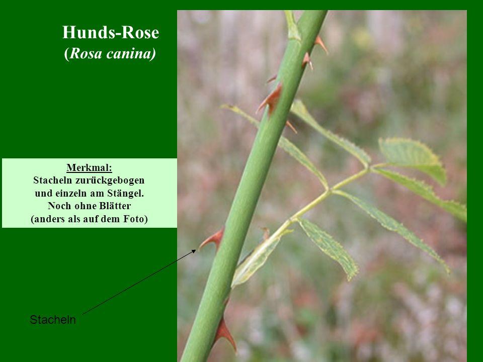 Hunds-Rose (Rosa canina) Stacheln Merkmal: Stacheln zurückgebogen und einzeln am Stängel. Noch ohne Blätter (anders als auf dem Foto)