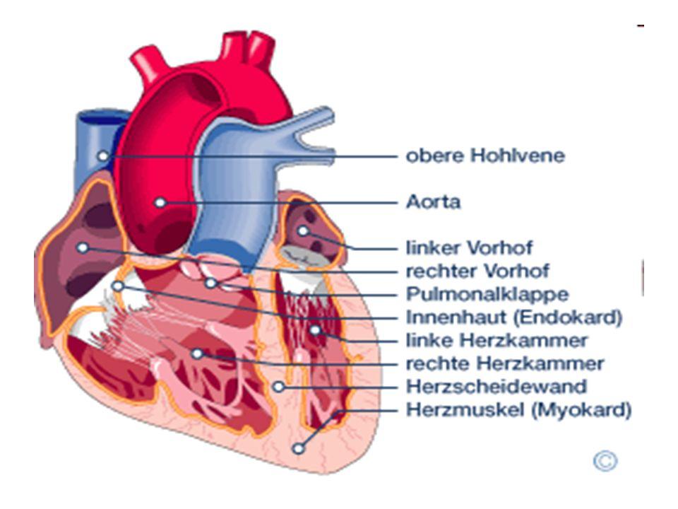 Arbeitsweise Wechsel von Kontraktion (Zusammenziehen) und Erschlaffen des Herzmuskels (Myokard)