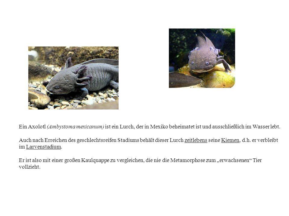 Ein Axolotl (Ambystoma mexicanum) ist ein Lurch, der in Mexiko beheimatet ist und ausschließlich im Wasser lebt. Auch nach Erreichen des geschlechtsre