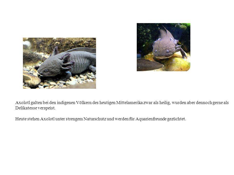Axolotl galten bei den indigenen Völkern des heutigen Mittelamerika zwar als heilig, wurden aber dennoch gerne als Delikatesse verspeist. Heute stehen