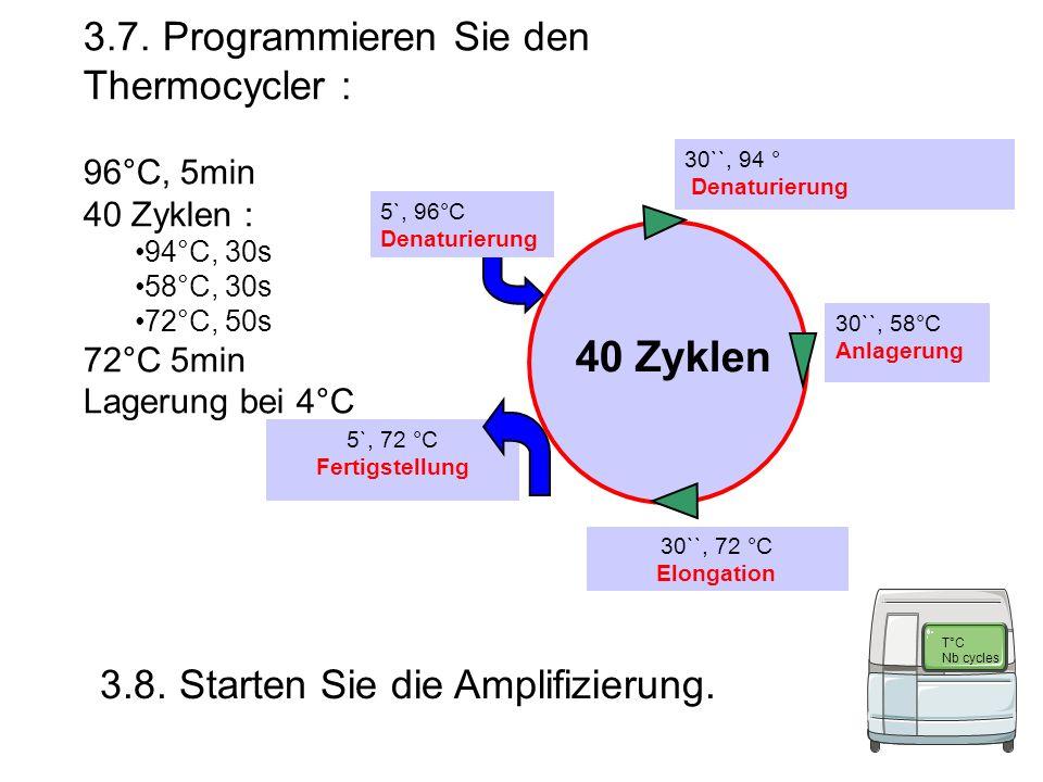 3.7. Programmieren Sie den Thermocycler : 96°C, 5min 40 Zyklen : 94°C, 30s 58°C, 30s 72°C, 50s 72°C 5min Lagerung bei 4°C 5`, 72 °C Fertigstellung 30`