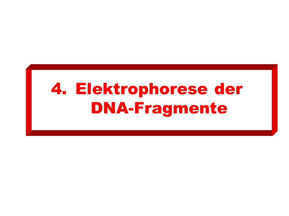 4.Elektrophorese der DNA-Fragmente