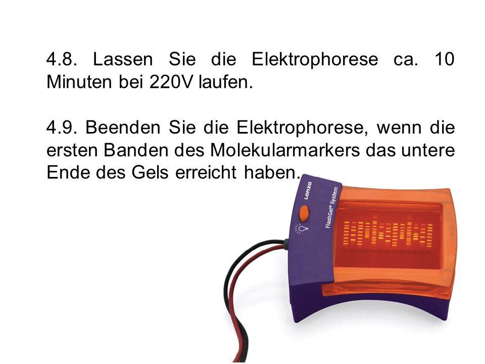 4.8. Lassen Sie die Elektrophorese ca. 10 Minuten bei 220V laufen. 4.9. Beenden Sie die Elektrophorese, wenn die ersten Banden des Molekularmarkers da