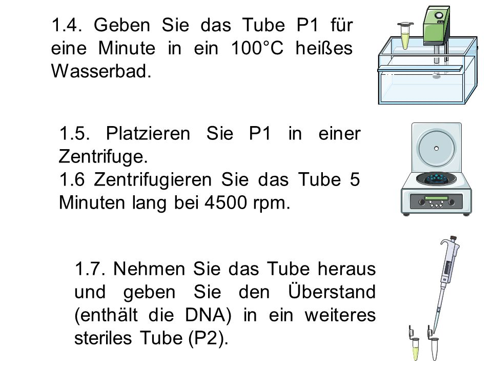 1.4. Geben Sie das Tube P1 für eine Minute in ein 100°C heißes Wasserbad. 1.5. Platzieren Sie P1 in einer Zentrifuge. 1.6 Zentrifugieren Sie das Tube