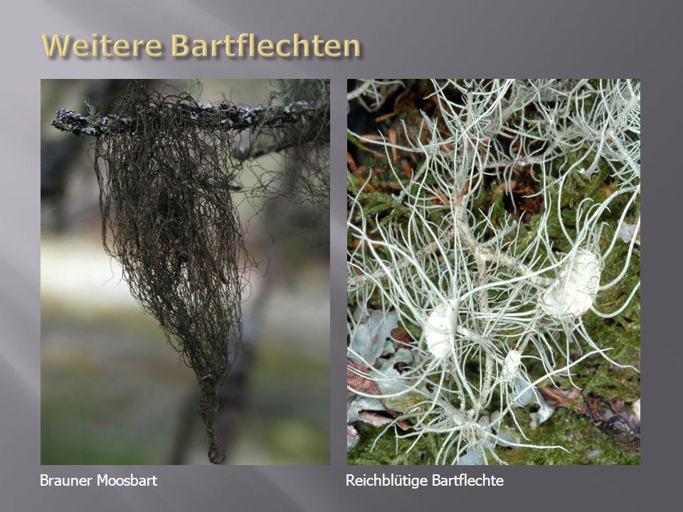 Brauner MoosbartReichblütige Bartflechte
