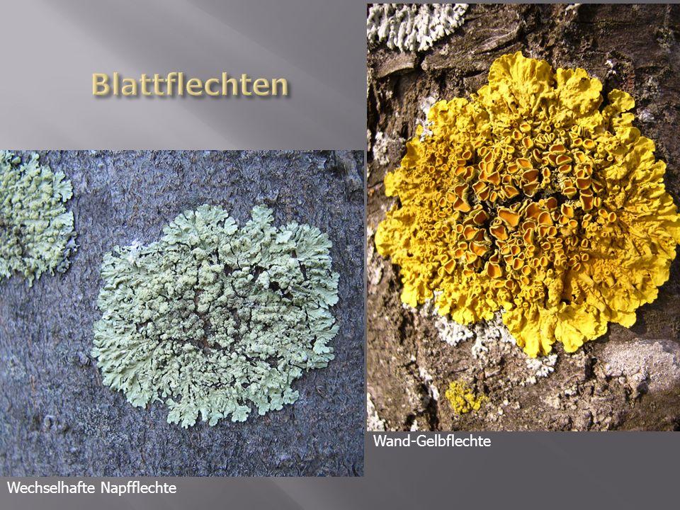 Wand-Gelbflechte Wechselhafte Napfflechte