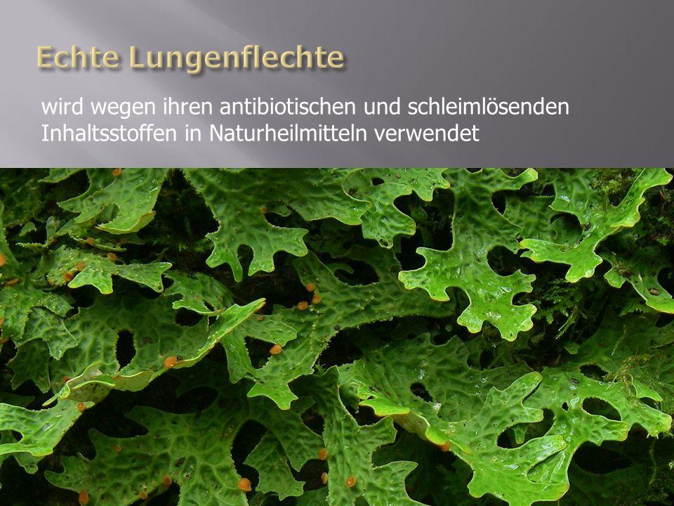 wird wegen ihren antibiotischen und schleimlösenden Inhaltsstoffen in Naturheilmitteln verwendet