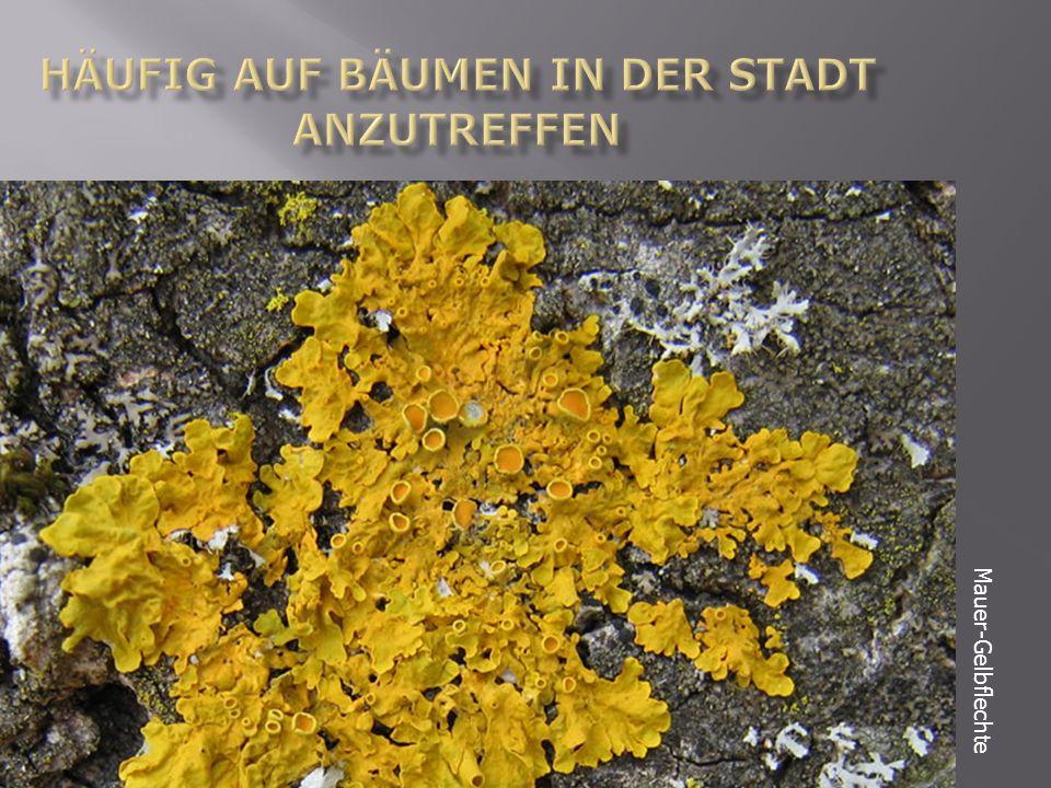 Mauer-Gelbflechte