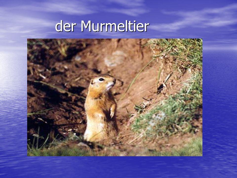 der Murmeltier der Murmeltier