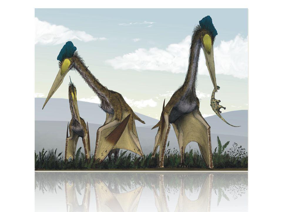 4.Aussehen Hatte vielleicht einen zahnlosen Kiefer Hatte einen langen, dünnen Schnabel Hatte ein leichtes aber stabiles Skelett Körper war klein im Vergleich zu der Flügelspannweite Forscher sind sich nicht ganz einig über das Aussehen.