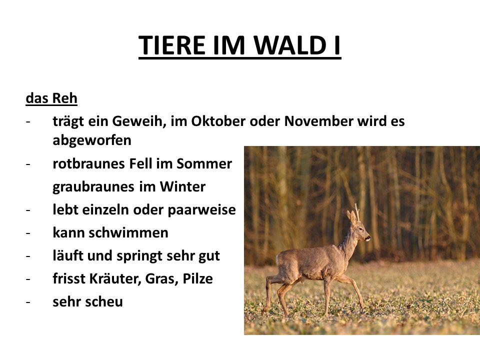 TIERE IM WALD I das Reh -trägt ein Geweih, im Oktober oder November wird es abgeworfen -rotbraunes Fell im Sommer graubraunes im Winter -lebt einzeln