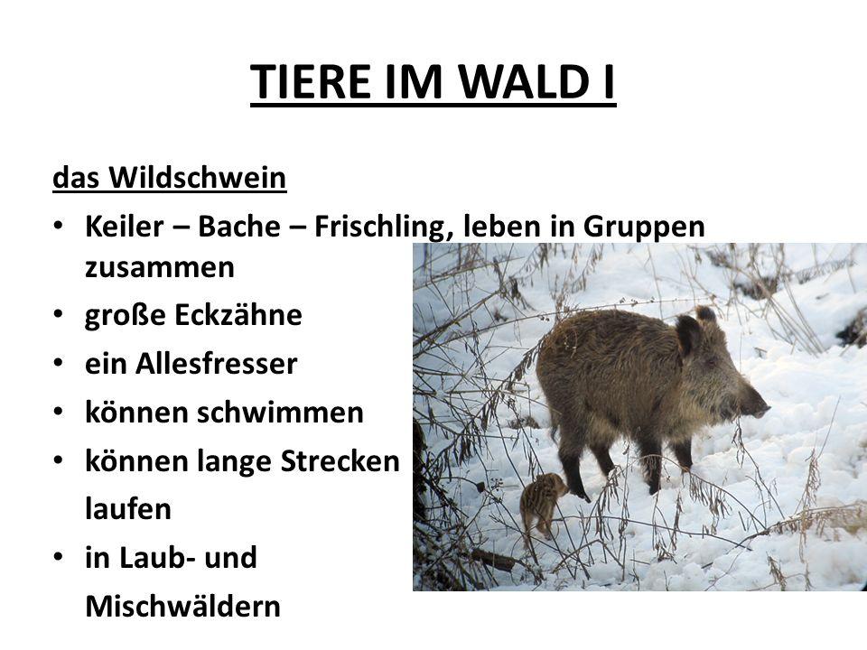 TIERE IM WALD I das Wildschwein Keiler – Bache – Frischling, leben in Gruppen zusammen große Eckzähne ein Allesfresser können schwimmen können lange S