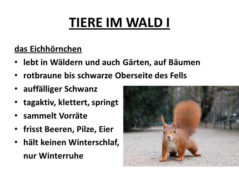 TIERE IM WALD I das Eichhörnchen lebt in Wäldern und auch Gärten, auf Bäumen rotbraune bis schwarze Oberseite des Fells auffälliger Schwanz tagaktiv,