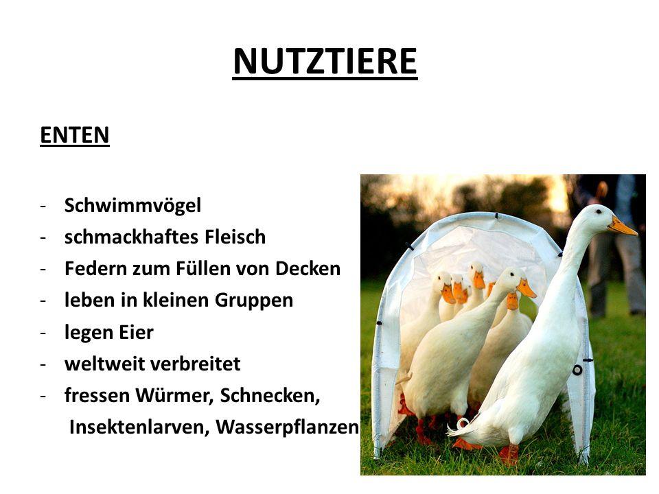 NUTZTIERE ENTEN -Schwimmvögel -schmackhaftes Fleisch -Federn zum Füllen von Decken -leben in kleinen Gruppen -legen Eier -weltweit verbreitet -fressen Würmer, Schnecken, Insektenlarven, Wasserpflanzen