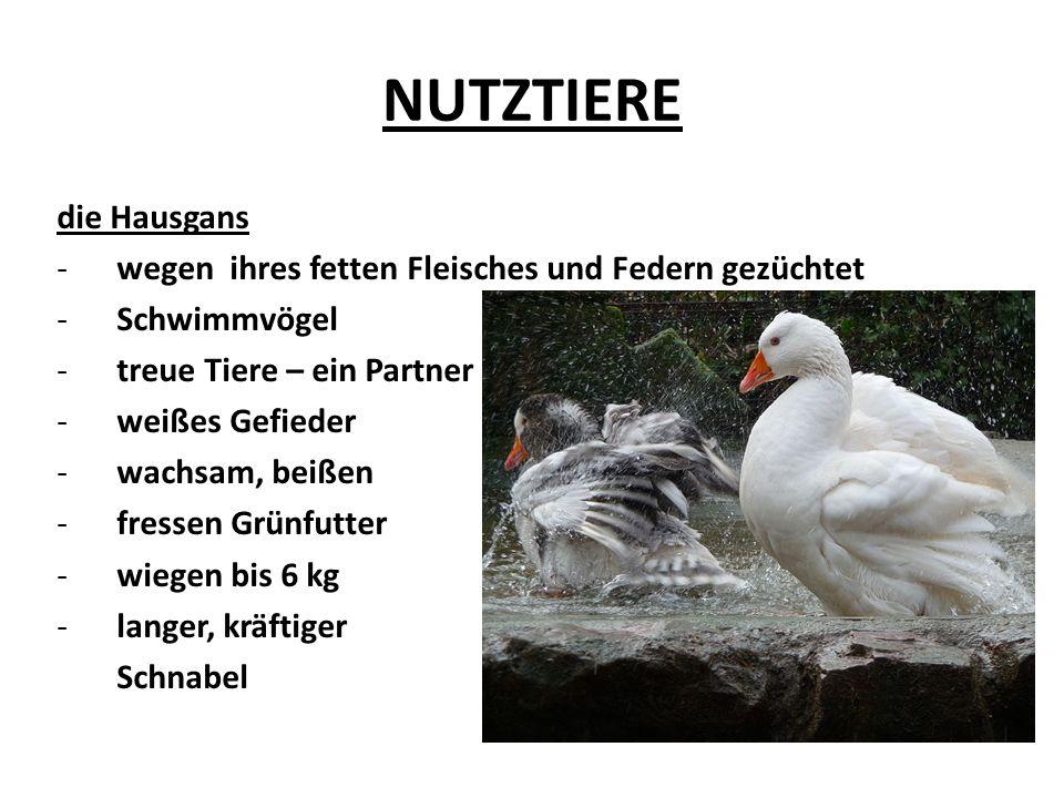 NUTZTIERE die Hausgans -wegen ihres fetten Fleisches und Federn gezüchtet -Schwimmvögel -treue Tiere – ein Partner -weißes Gefieder -wachsam, beißen -