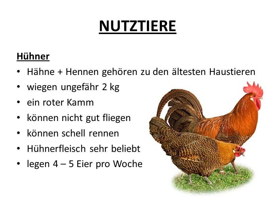 NUTZTIERE Hühner Hähne + Hennen gehören zu den ältesten Haustieren wiegen ungefähr 2 kg ein roter Kamm können nicht gut fliegen können schell rennen H