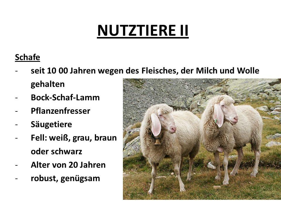 NUTZTIERE II Schafe -seit 10 00 Jahren wegen des Fleisches, der Milch und Wolle gehalten -Bock-Schaf-Lamm -Pflanzenfresser -Säugetiere -Fell: weiß, grau, braun oder schwarz -Alter von 20 Jahren -robust, genügsam