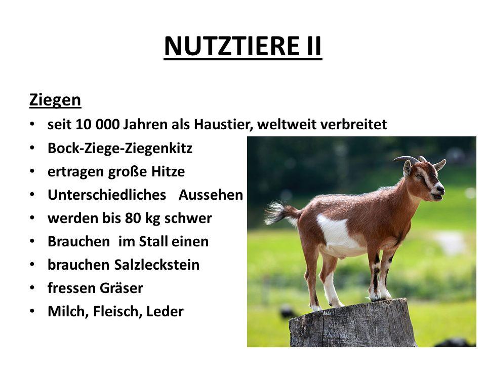 NUTZTIERE II Ziegen seit 10 000 Jahren als Haustier, weltweit verbreitet Bock-Ziege-Ziegenkitz ertragen große Hitze Unterschiedliches Aussehen werden bis 80 kg schwer Brauchen im Stall einen brauchen Salzleckstein fressen Gräser Milch, Fleisch, Leder