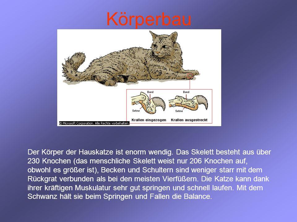 Körperbau Der Körper der Hauskatze ist enorm wendig. Das Skelett besteht aus über 230 Knochen (das menschliche Skelett weist nur 206 Knochen auf, obwo