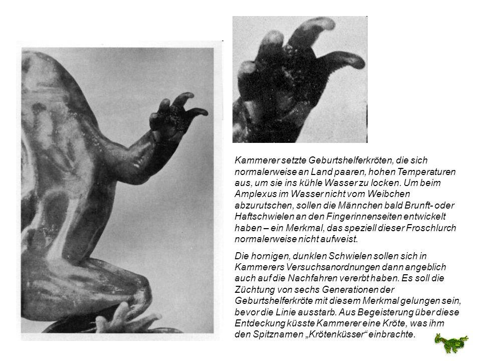Kammerer setzte Geburtshelferkröten, die sich normalerweise an Land paaren, hohen Temperaturen aus, um sie ins kühle Wasser zu locken. Um beim Amplexu