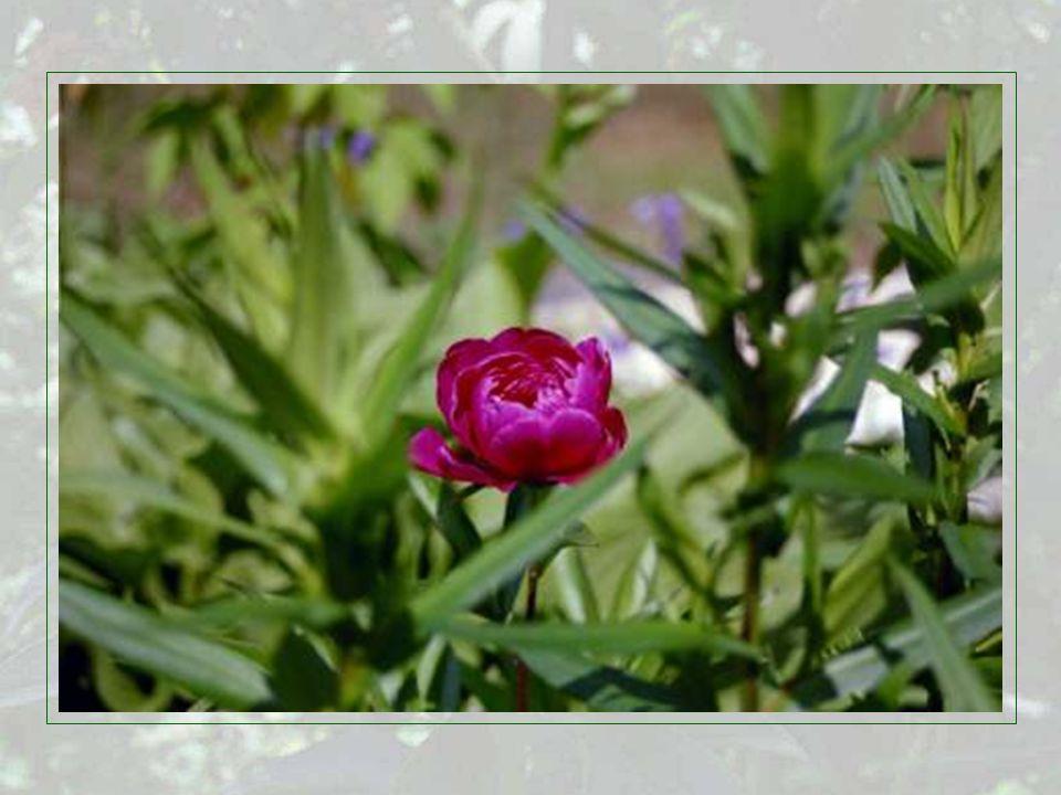 Paeonia officinalis, die Bauernpfingstrose, stammt aus Europa und ist seit der Antike bekannt.