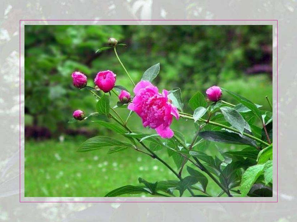 Die ersten Strauchpäonien (Paeonia suffruticosa) aus China erreichten 1787 die Königlich-Botanischen Gärten von Kew in London.