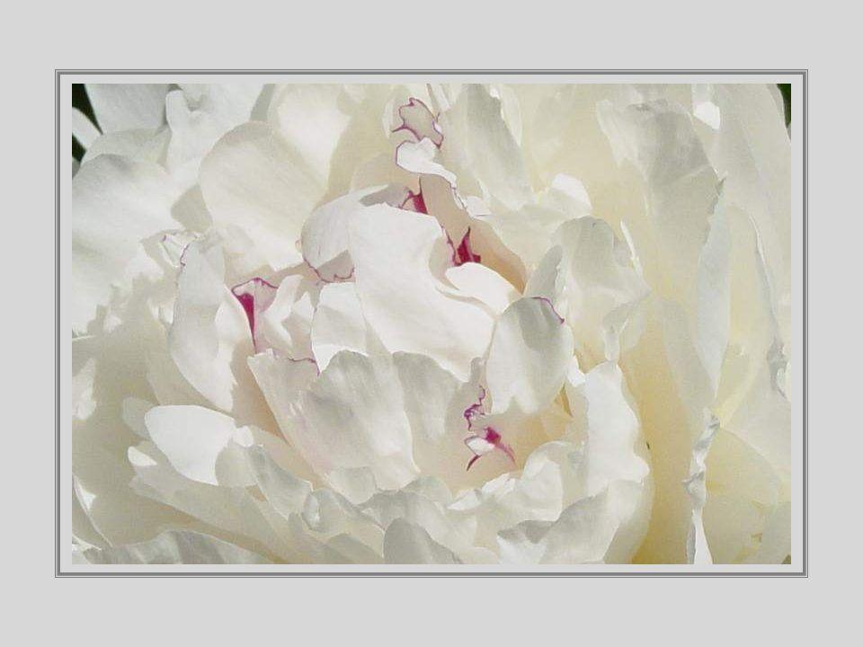 Die Pfingstrose – die Rose ohne Dornen