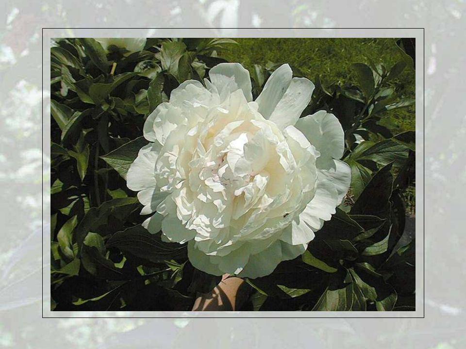 Wer in Deutschland von der Königin der Blumen spricht, meint die Rose.