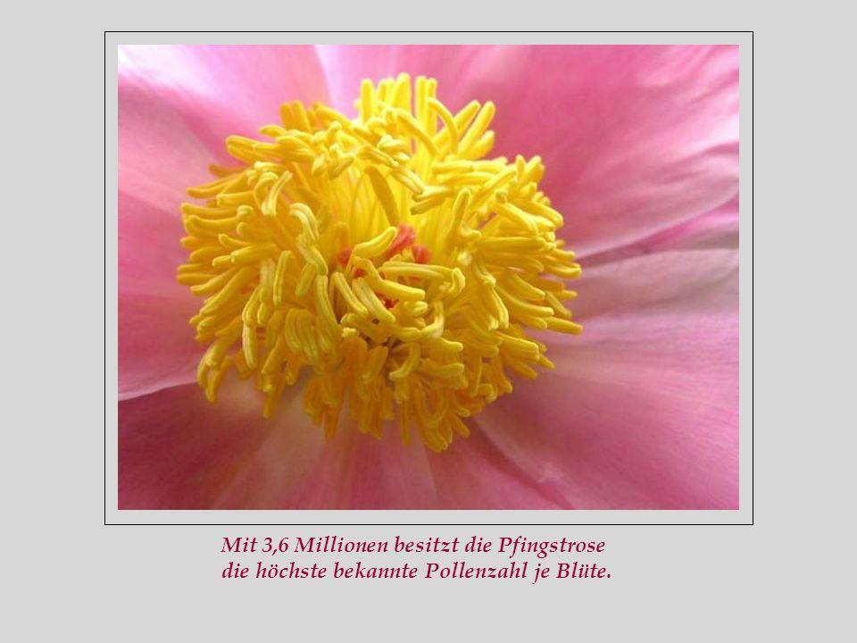 Mit 3,6 Millionen besitzt die Pfingstrose die höchste bekannte Pollenzahl je Blüte.