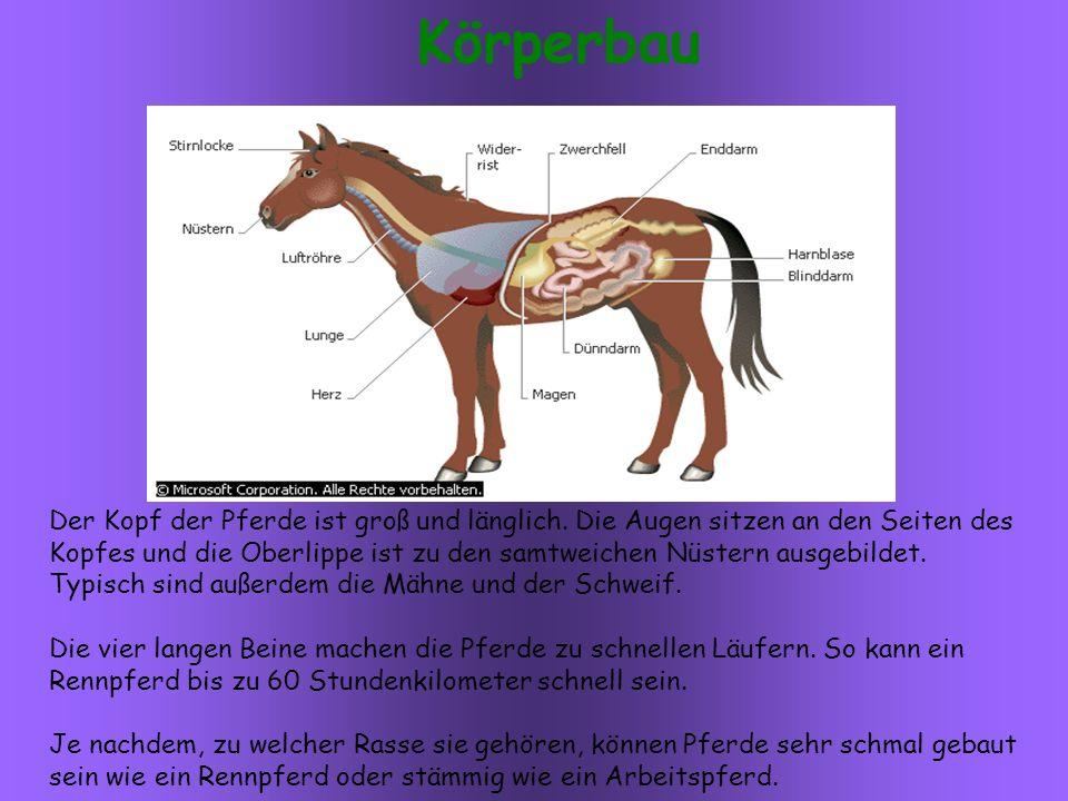 Der Kopf der Pferde ist groß und länglich.