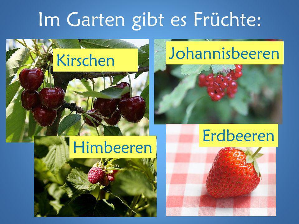 Im Garten gibt es Früchte: Kirschen Johannisbeeren Himbeeren Erdbeeren