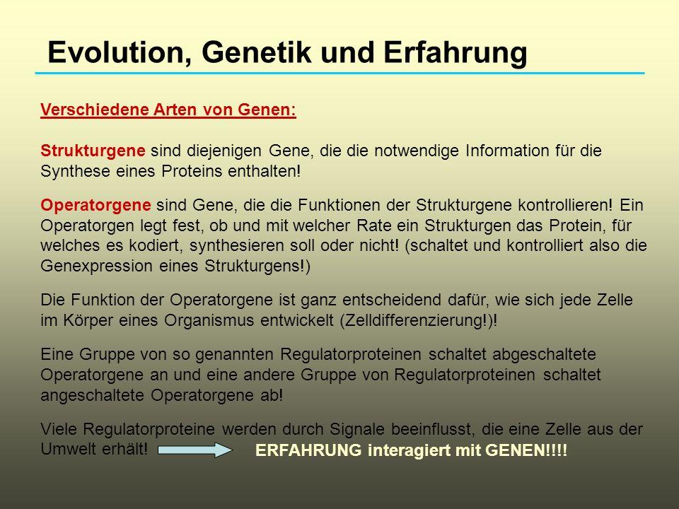 Evolution, Genetik und Erfahrung Verschiedene Arten von Genen: Strukturgene sind diejenigen Gene, die die notwendige Information für die Synthese eine