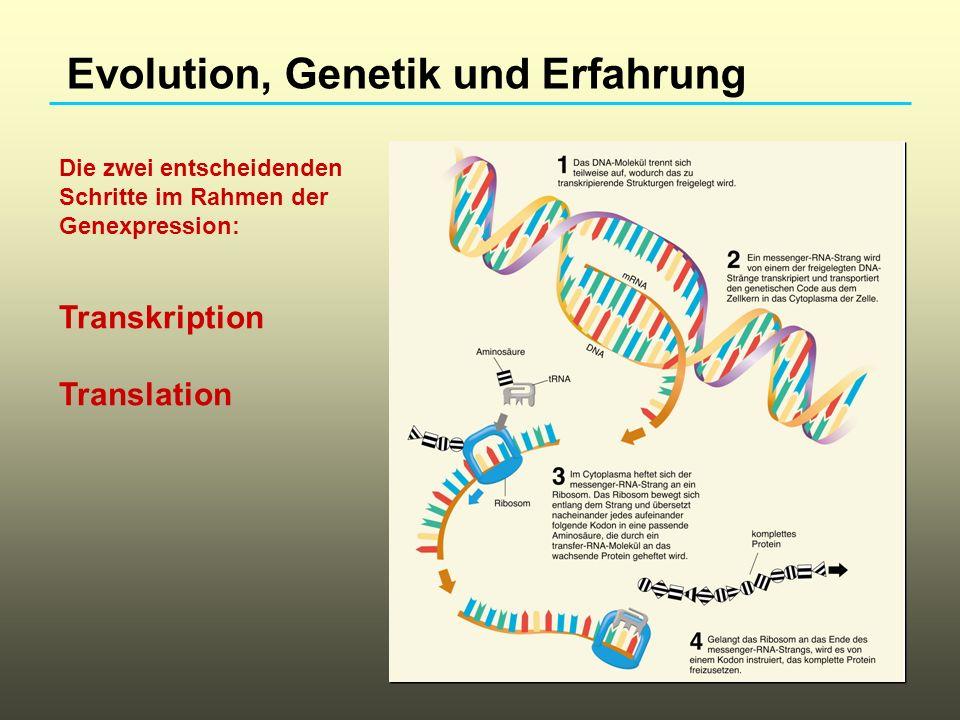 Evolution, Genetik und Erfahrung Interaktion zwischen genetischen Faktoren und Erfahrung Selektive Züchtung labyrinthschlauer und labyrinthdummer Ratten.