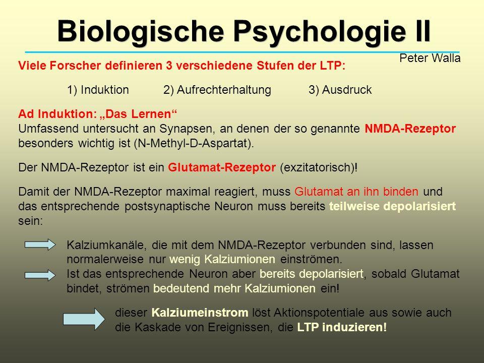 Biologische Psychologie II Peter Walla Viele Forscher definieren 3 verschiedene Stufen der LTP: 1) Induktion2) Aufrechterhaltung3) Ausdruck Ad Induktion: Das Lernen Umfassend untersucht an Synapsen, an denen der so genannte NMDA-Rezeptor besonders wichtig ist (N-Methyl-D-Aspartat).