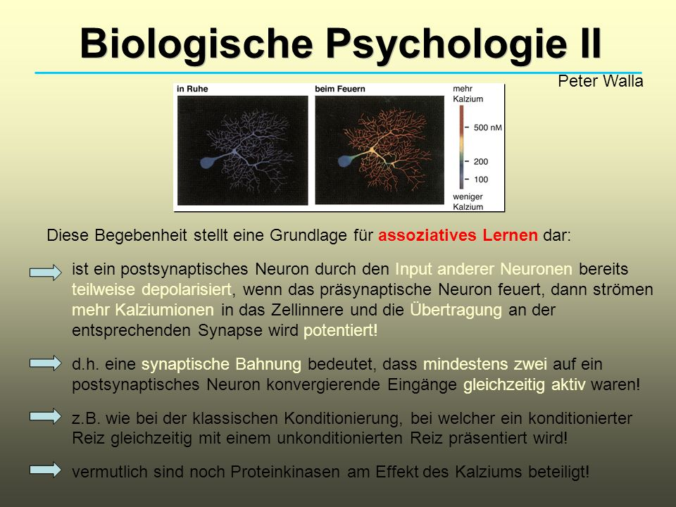 Biologische Psychologie II Peter Walla Diese Begebenheit stellt eine Grundlage für assoziatives Lernen dar: ist ein postsynaptisches Neuron durch den Input anderer Neuronen bereits teilweise depolarisiert, wenn das präsynaptische Neuron feuert, dann strömen mehr Kalziumionen in das Zellinnere und die Übertragung an der entsprechenden Synapse wird potentiert.