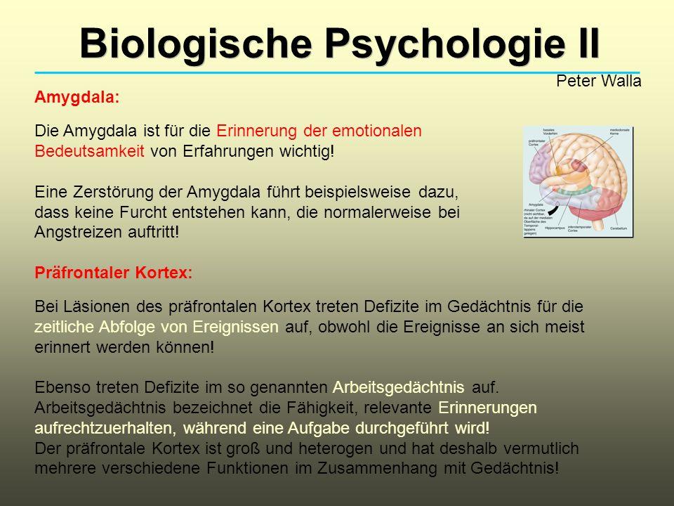 Biologische Psychologie II Peter Walla Amygdala: Die Amygdala ist für die Erinnerung der emotionalen Bedeutsamkeit von Erfahrungen wichtig.
