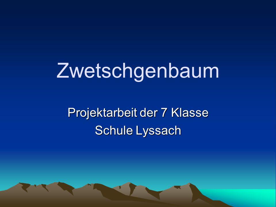 Zwetschgenbaum Projektarbeit der 7 Klasse Schule Lyssach