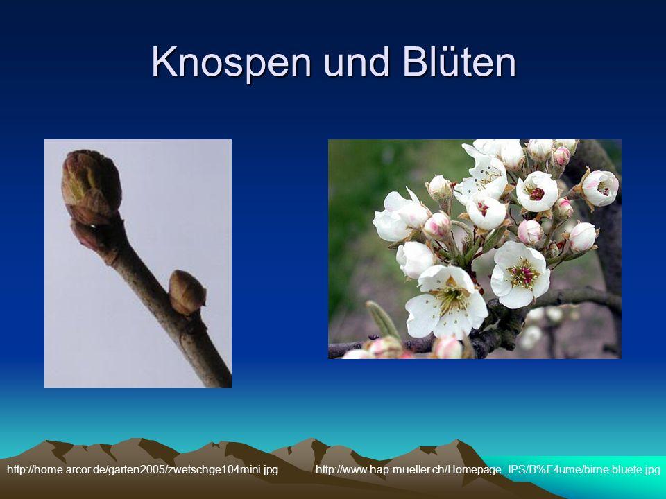 Knospen und Blüten http://www.hap-mueller.ch/Homepage_IPS/B%E4ume/birne-bluete.jpghttp://home.arcor.de/garten2005/zwetschge104mini.jpg