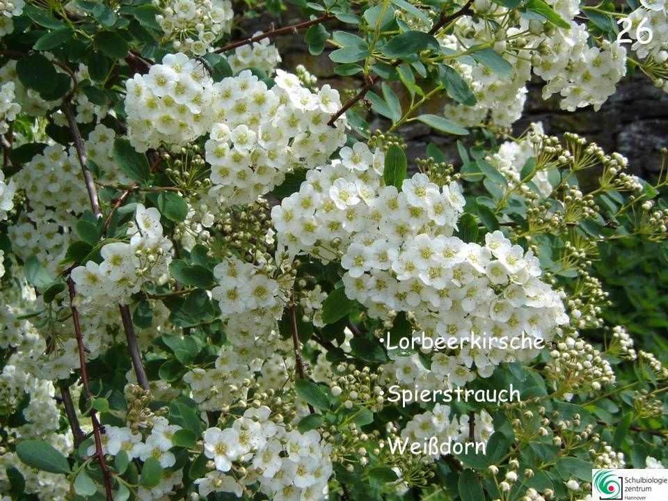 25 Blauregen Judasbaum Flieder